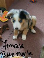 Australian Shepherd Puppies for sale in Oxford, Oxford Charter Township, MI 48371, USA. price: NA