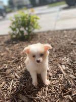 Australian Shepherd Puppies for sale in Flower Mound, TX, USA. price: NA