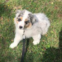 Australian Shepherd Puppies for sale in Orlando, FL, USA. price: NA