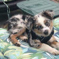 Australian Shepherd Puppies for sale in New York, NY, USA. price: NA