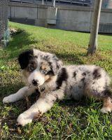 Australian Shepherd Puppies for sale in Illinois City, IL 61259, USA. price: NA