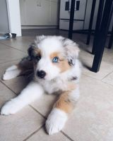 Australian Shepherd Puppies for sale in Ohio City, Cleveland, OH, USA. price: NA