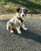 Australian Shepherd Puppies for sale in Georgia Tech, Atlanta, GA, USA. price: NA