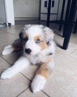 Australian Shepherd Puppies for sale in Michigan City, IN, USA. price: NA