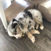 Australian Shepherd Puppies for sale in Texas City Dike, Texas City, TX, USA. price: NA