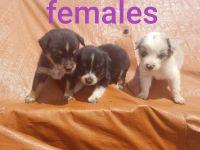 Australian Shepherd Puppies for sale in Guthrie, OK, USA. price: NA