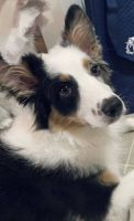 Australian Shepherd Puppies for sale in 102 Kenley Ct, State College, PA 16803, USA. price: NA