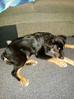 Australian Shepherd Puppies for sale in Minneapolis, MN, USA. price: NA