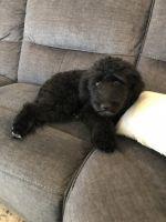 Australian Shepherd Puppies for sale in Newell, AL 36280, USA. price: NA