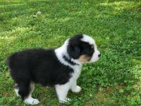 Australian Shepherd Puppies for sale in Bedford, PA 15522, USA. price: NA