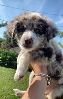 Australian Shepherd Puppies for sale in Denver, CO, USA. price: NA
