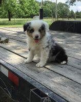Australian Shepherd Puppies Photos
