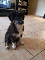 Australian Shepherd Puppies for sale in Phoenix, AZ 85032, USA. price: NA
