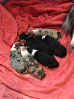 Australian Shepherd Puppies for sale in Waveland, MS, USA. price: NA