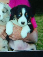 Australian Shepherd Puppies for sale in Kansas City, MO, USA. price: NA