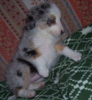 Australian Shepherd Puppies for sale in Philadelphia, PA 19116, USA. price: NA