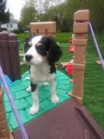 Australian Shepherd Puppies for sale in Warren, OH, USA. price: NA