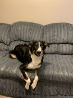 Australian Shepherd Puppies Photos