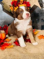 Australian Shepherd Puppies for sale in W Main St, East Brookfield, MA, USA. price: NA