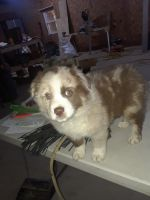 Australian Shepherd Puppies for sale in Burr Oak, MI 49030, USA. price: NA