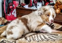Australian Shepherd Puppies for sale in Shenandoah, PA 17976, USA. price: NA