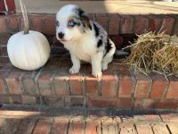 Australian Shepherd Puppies for sale in Oak Grove, KY, USA. price: NA