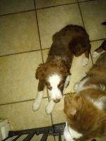Australian Shepherd Puppies for sale in Mansfield, OH 44905, USA. price: NA