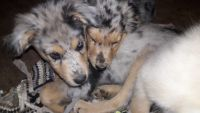 Australian Shepherd Puppies for sale in Lamar, CO 81052, USA. price: NA