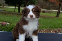 Australian Shepherd Puppies for sale in Sandy Hook, KY 41171, USA. price: NA