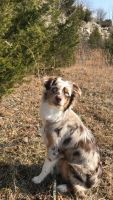 Australian Shepherd Puppies for sale in Dayton, OH, USA. price: NA