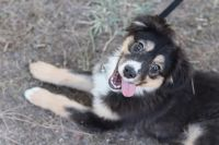 Australian Shepherd Puppies for sale in Corona, CA, USA. price: NA