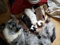 Australian Shepherd Puppies for sale in Ravenna, MI 49451, USA. price: NA
