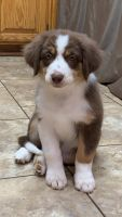 Australian Shepherd Puppies for sale in Cottonwood, CA 96022, USA. price: NA