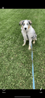 Australian Shepherd Puppies for sale in Sheboygan, WI, USA. price: NA
