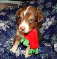 Australian Shepherd Puppies for sale in Harrah, OK, USA. price: NA
