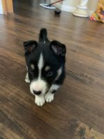Australian Shepherd Puppies for sale in Riverside, CA, USA. price: NA