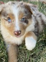 Australian Shepherd Puppies for sale in Porterville, CA 93257, USA. price: NA