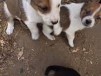 Australian Shepherd Puppies for sale in Palmer, NE 68864, USA. price: NA