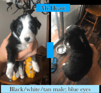 Australian Shepherd Puppies for sale in Rapid City, SD, USA. price: NA