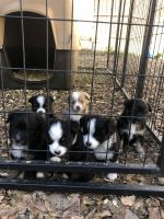Australian Shepherd Puppies for sale in Hugo, OK 74743, USA. price: NA