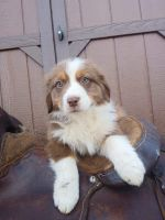 Australian Shepherd Puppies for sale in Yadkinville, NC 27055, USA. price: NA