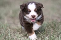 Australian Shepherd Puppies for sale in Houston, TX, USA. price: NA