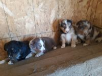 Australian Shepherd Puppies for sale in Banning, CA, USA. price: NA