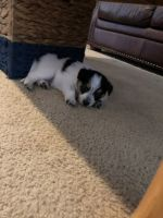Australian Shepherd Puppies for sale in Anna, TX 75409, USA. price: NA