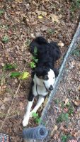Australian Shepherd Puppies for sale in Summerfield, NC, USA. price: NA