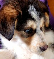 Australian Shepherd Puppies for sale in Cedar City, UT 84721, USA. price: NA