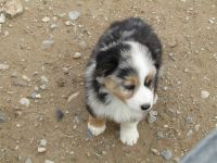 Australian Shepherd Puppies for sale in Pahrump, NV, USA. price: NA