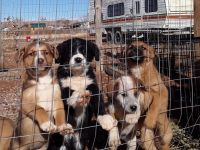 Australian Shepherd Puppies for sale in 1901 1500 E, Ballard, UT 84066, USA. price: NA