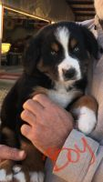 Australian Shepherd Puppies for sale in Lipan, TX 76462, USA. price: NA