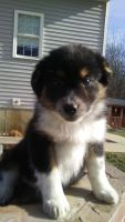 Australian Shepherd Puppies for sale in Kalamazoo, MI, USA. price: NA